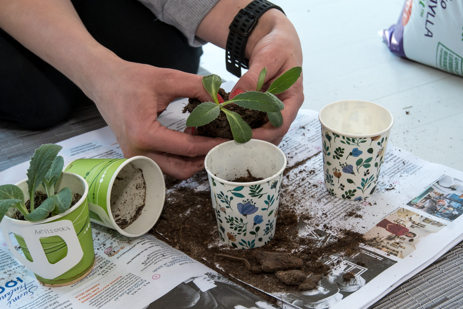 artisokan taimet - kasvihuone saaressa blogi