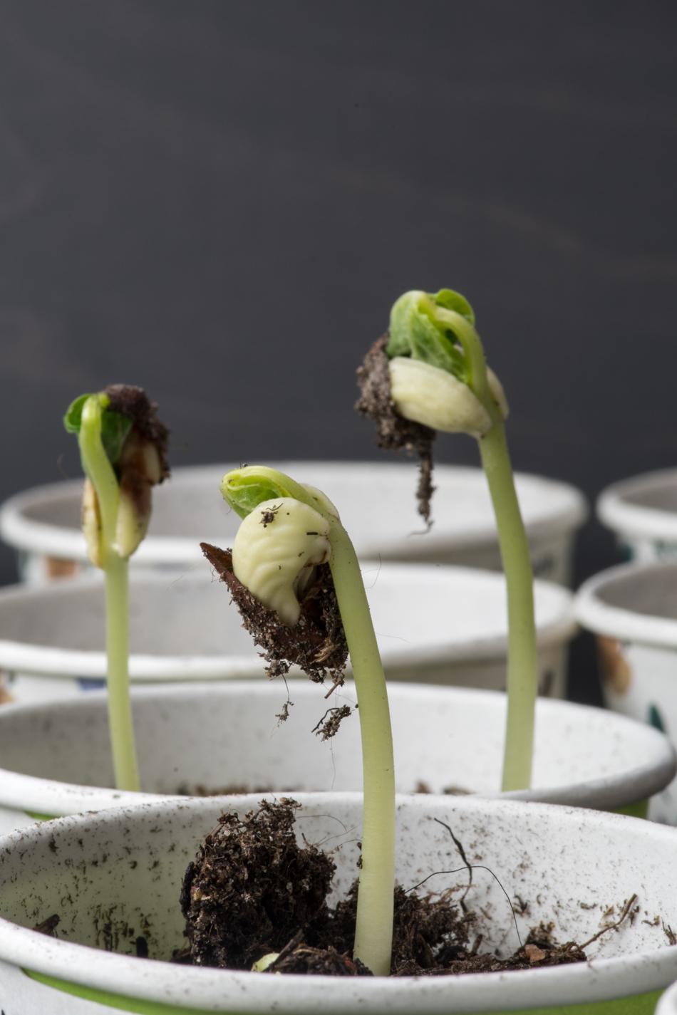 Härkäpavun kasvatus kasvihuoneessa