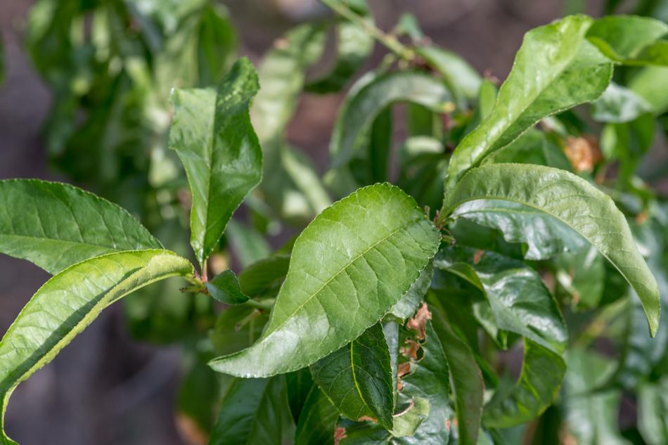 persikka viihtyy kasvihuoneessa