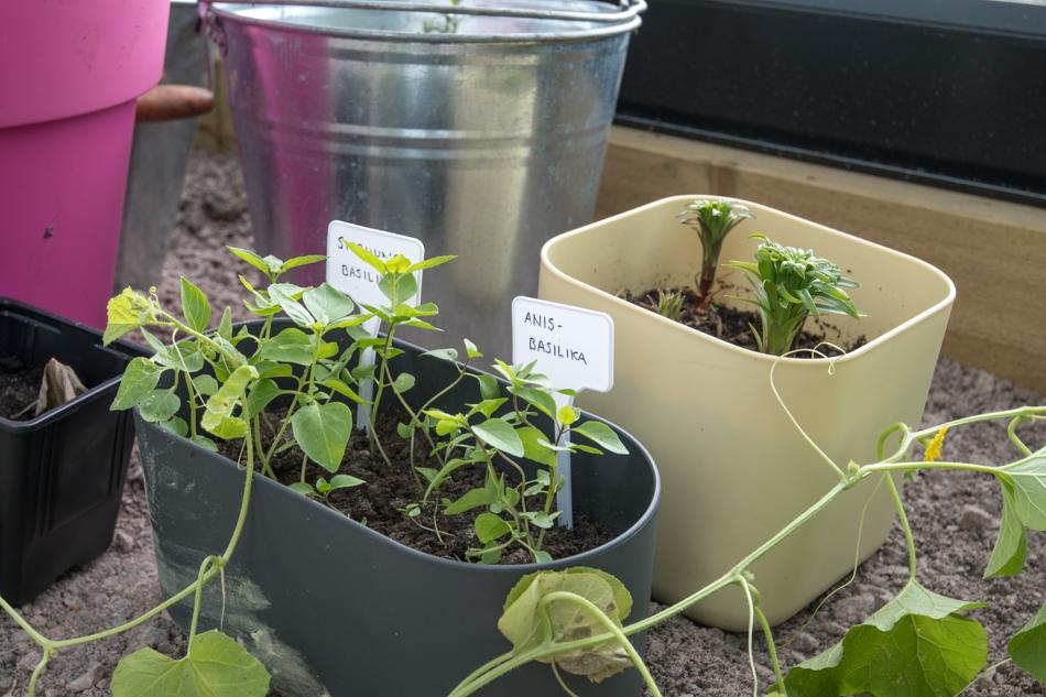 basilikaa kasvihuoneessa