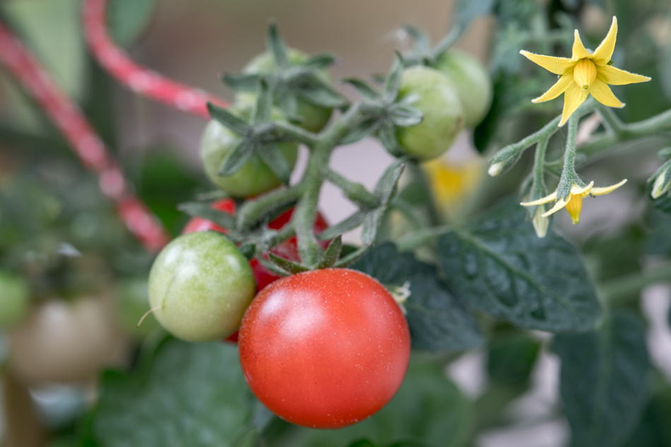 tiny tim -tomaatti kasvihuoneessa