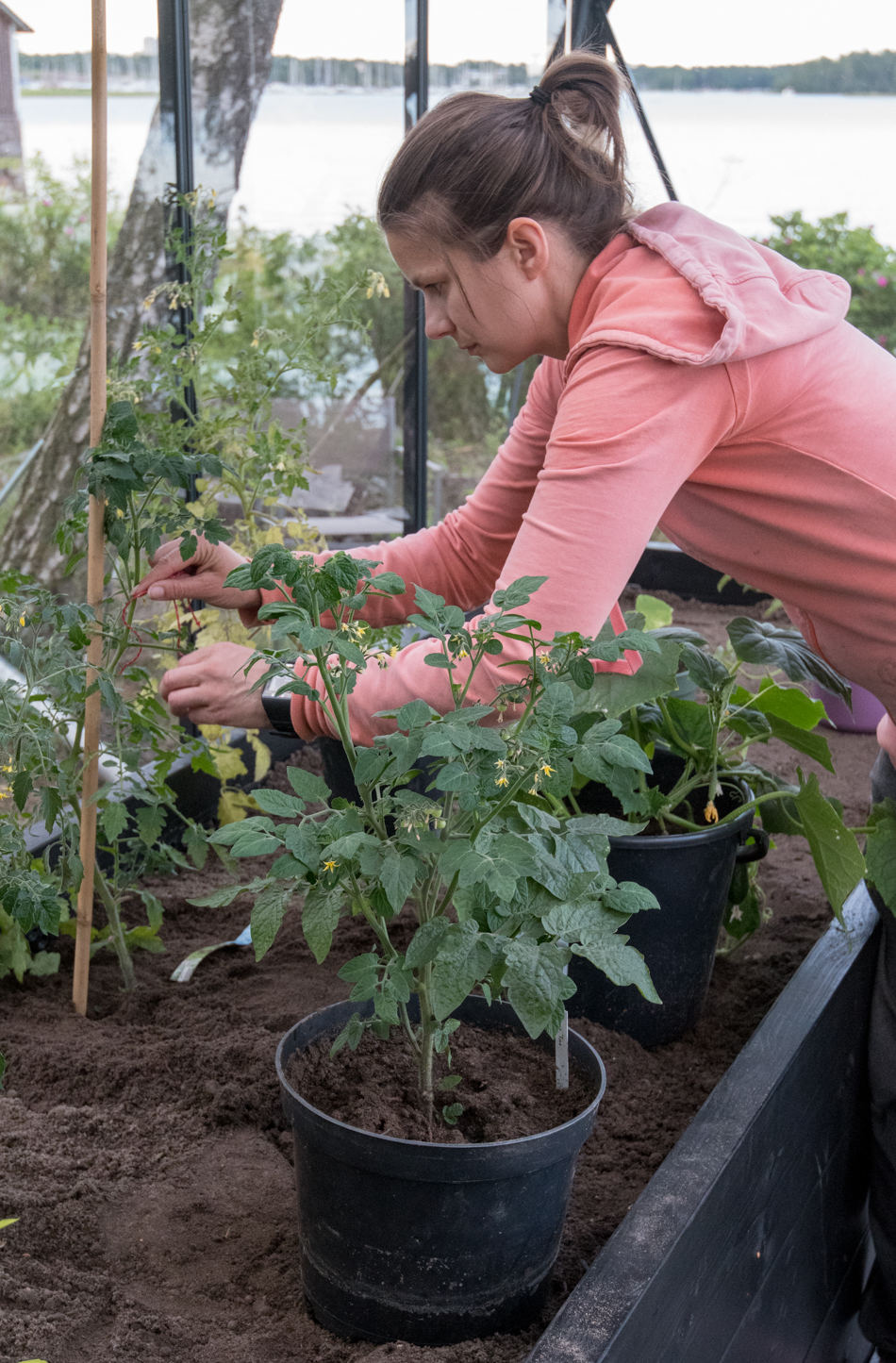tomaatintaimien istuttaminen kasvihuoneeseen