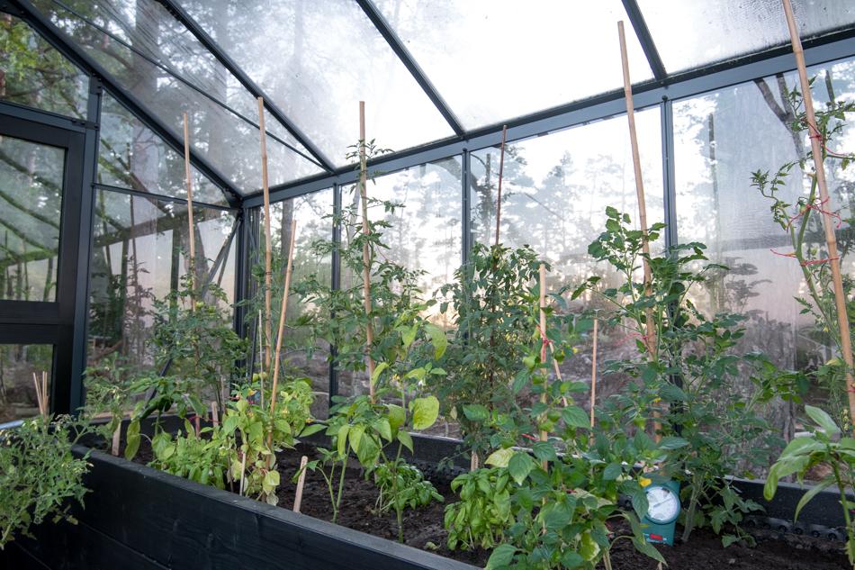 Tomaatti, paprika, chili ja tomatillo kasvihuoneen puisessa kasvulavassa
