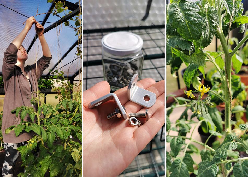 taimien sidonta ja tuenta kasvihuoneessa