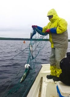 Fisknät  45mm 3,0m IronSilk längd 30m, Pietari dubbelteln